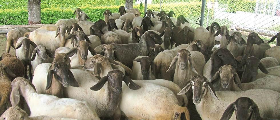 Selection of male and female for quality sheep breeding