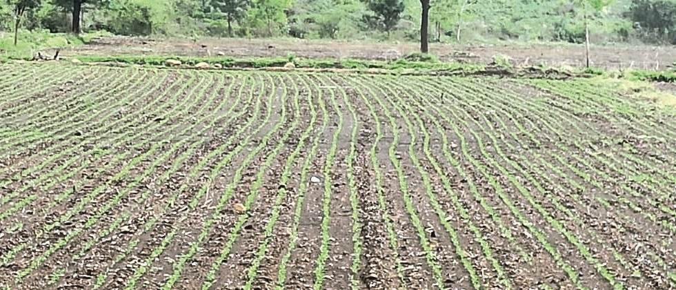 12.64 per cent sowing in Parbhani