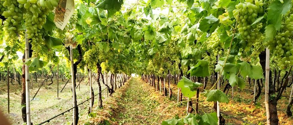 Help the vineyards for one and a half lakhs: Demand for self-respect