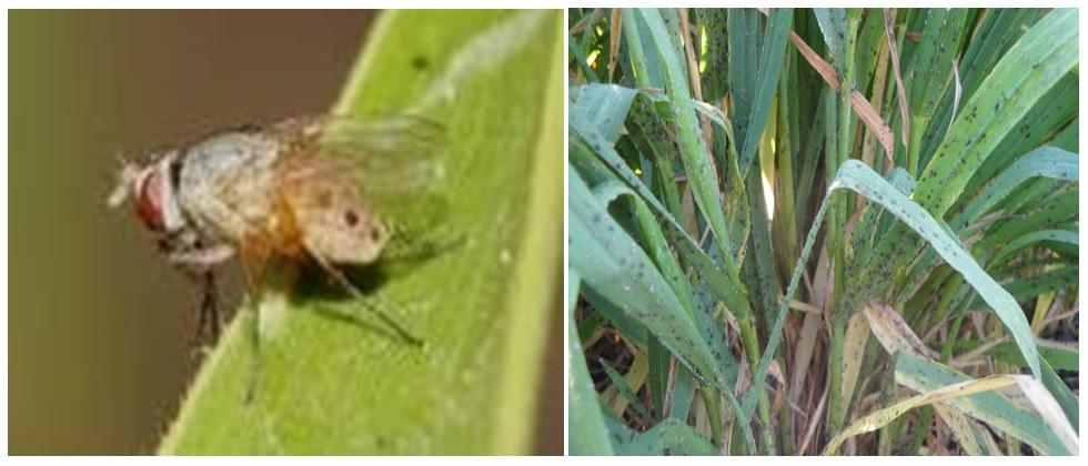 stem fly and mava pest in wheat crop