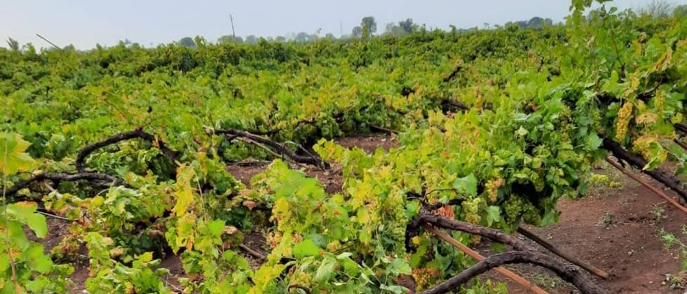 Due to the rain, the grape garden collapsed in Niphad