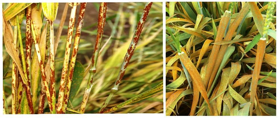 control measures of wheat rust