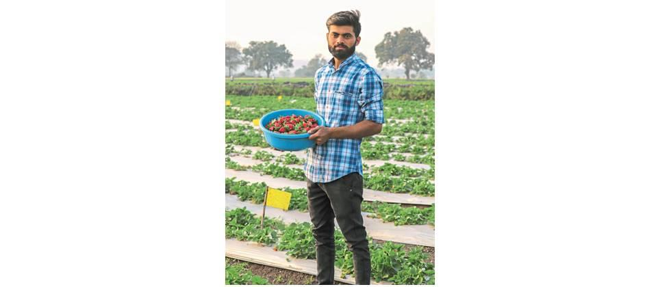 The redness of strawberries hardened the drought-stricken land