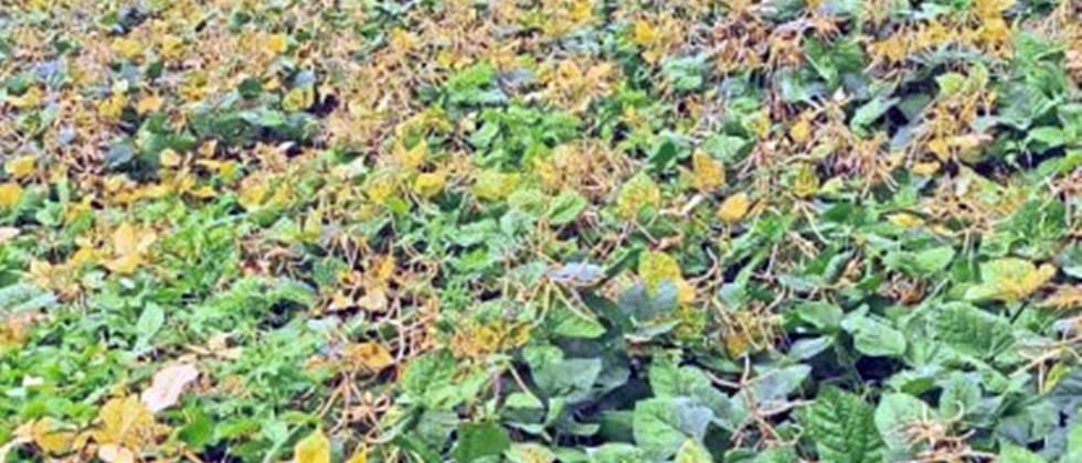 Mung crop become in trouble due to rain