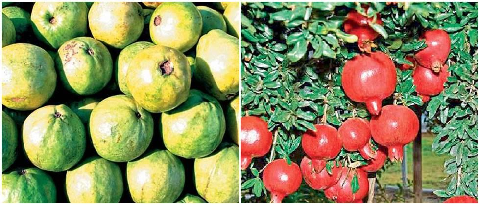 Free distribution of fruits by the farmers of Sangli