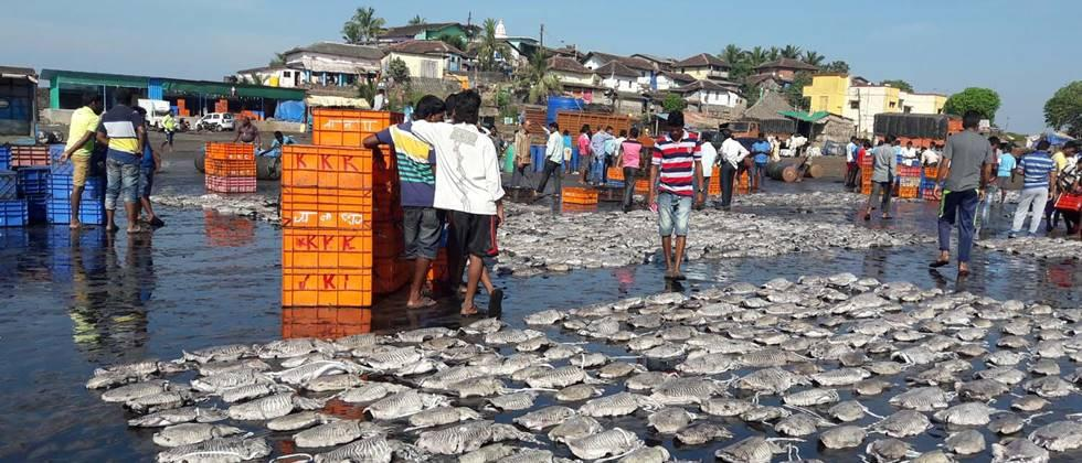 The auction of fish in Devgad is grant from administration