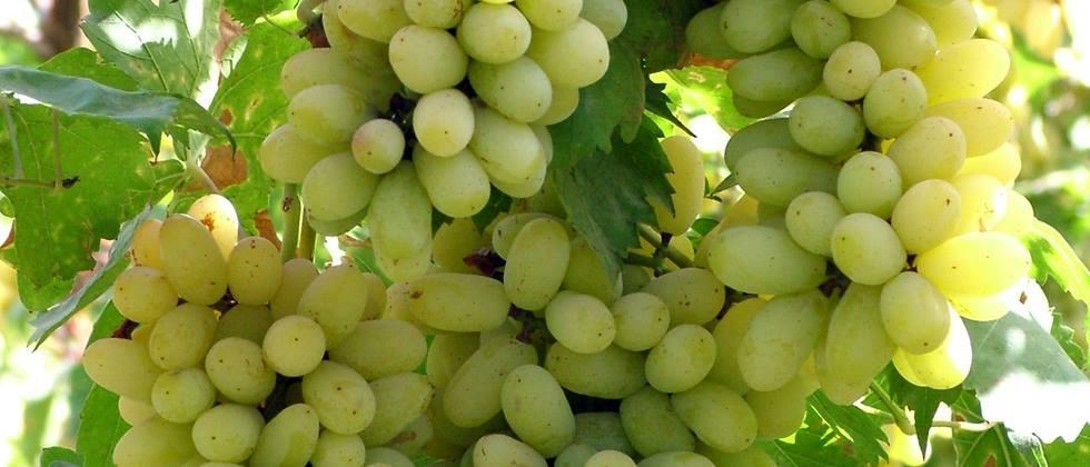 Grape growers cheated of Rs 11 lakh