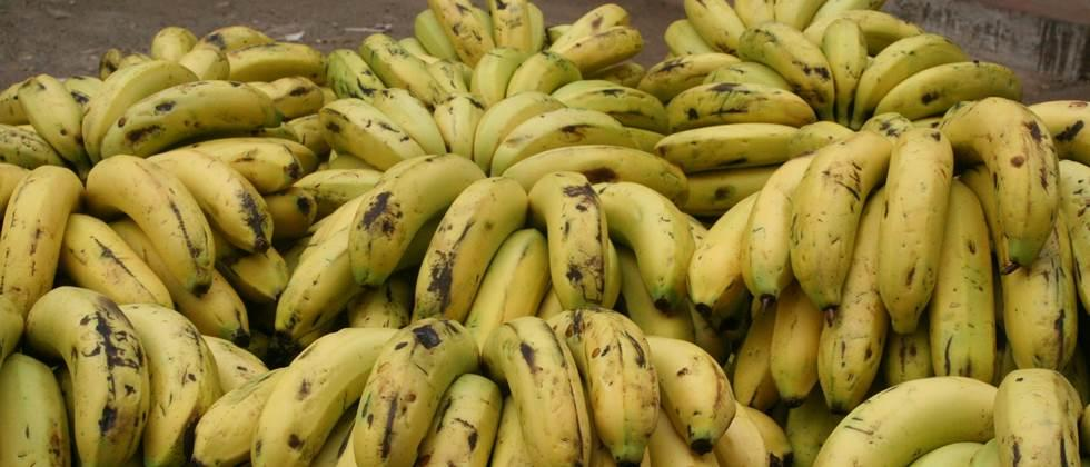 Pressure on banana prices in Khandesh