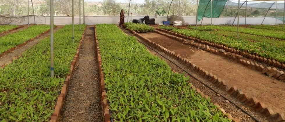 Banana cultivation is estimated to decrease by one and half thousand hectares in Khandesh