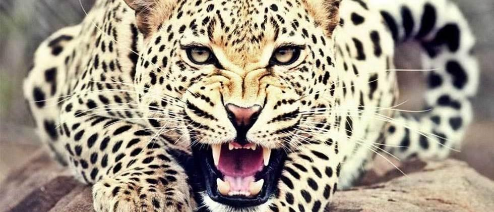 Leopard terror persists in Mohol, North Solapur