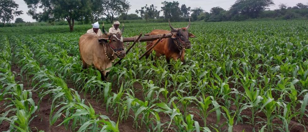 Maize can be cultivated on 90,000 hectares in Jalgaon district