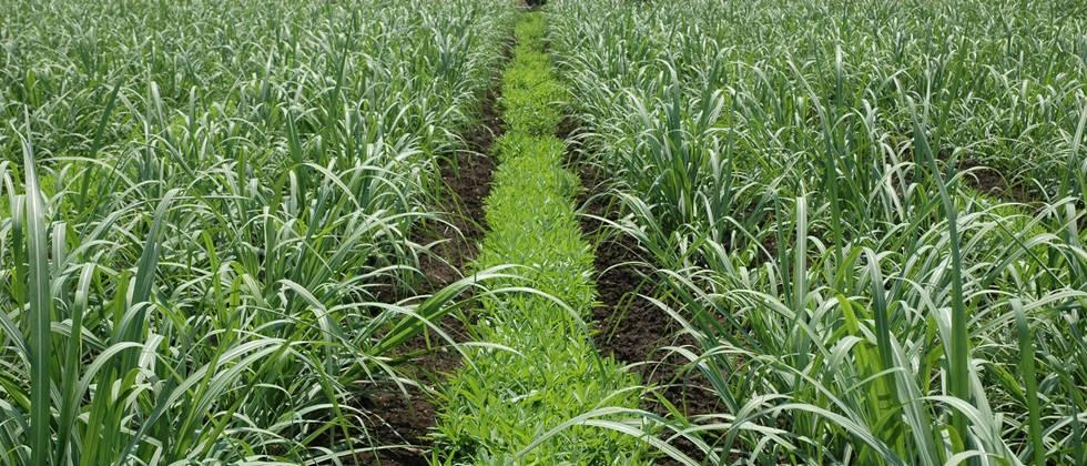 Organic curb is important for soil fertility. green manures are beneficial for this