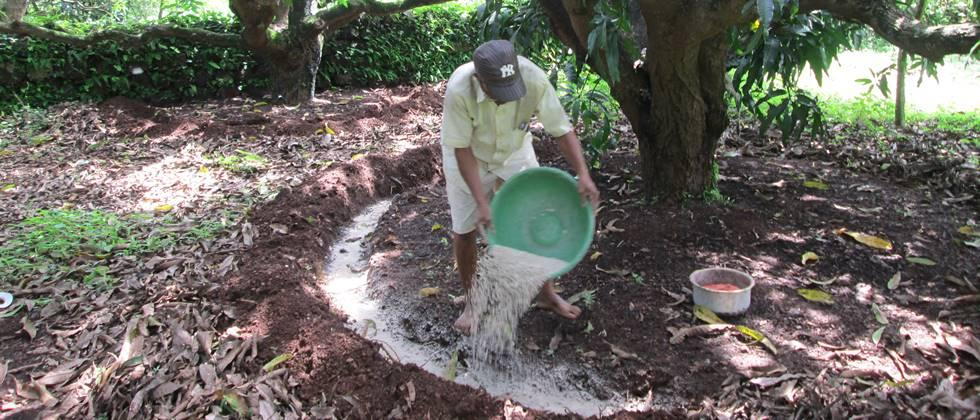 Fertilize the mango tree at appropriate distances and cover it with soil immediately.