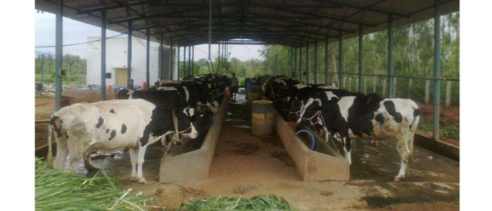 cattle shed