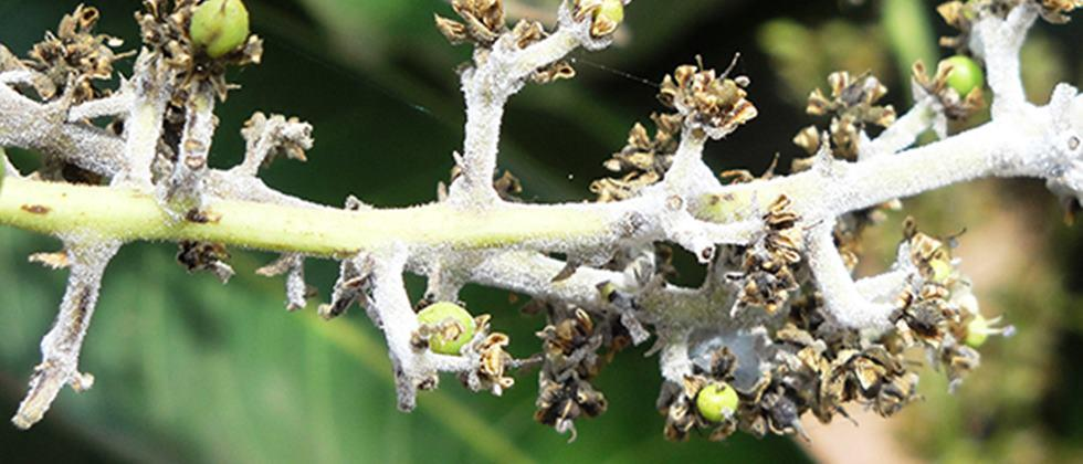powdery mildew on mango