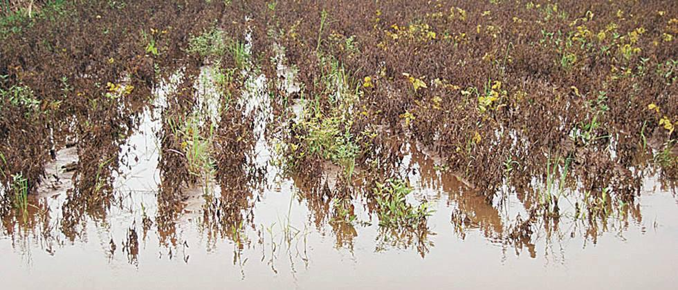 Rainfall affects seed production