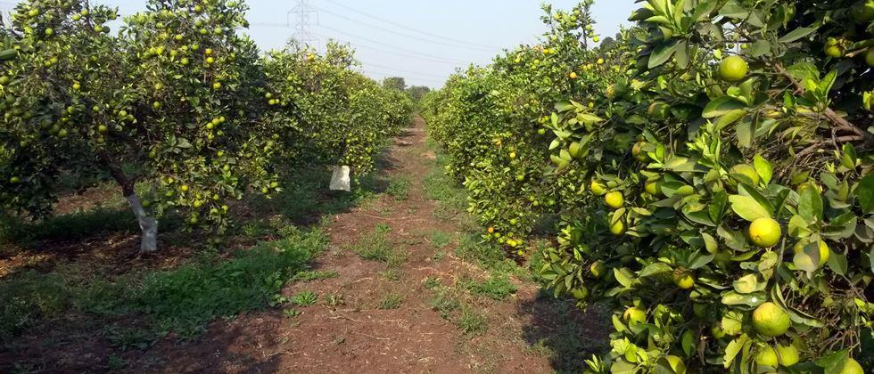 grapes sweet lime producers become in trouble