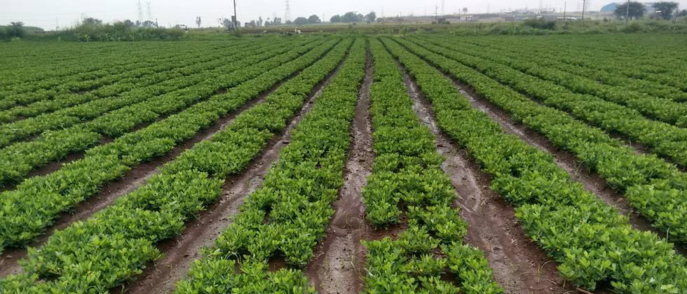 Groundnut cultivation