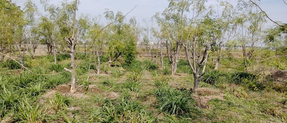 Cultivation of fodder crops in forestry is beneficial ...