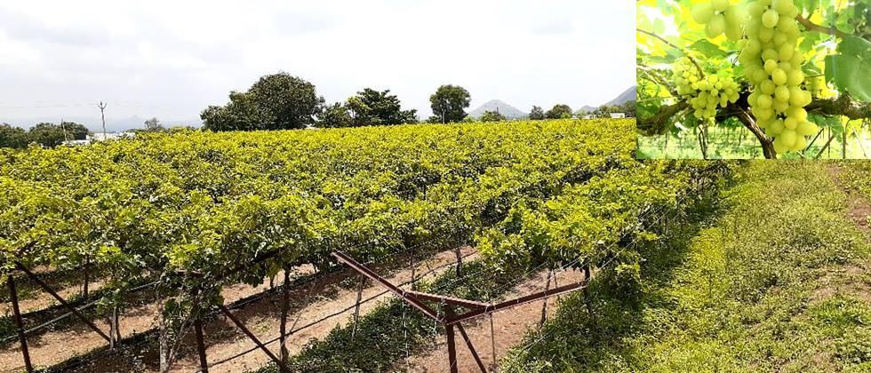 Vineyard on one acre and quality produce