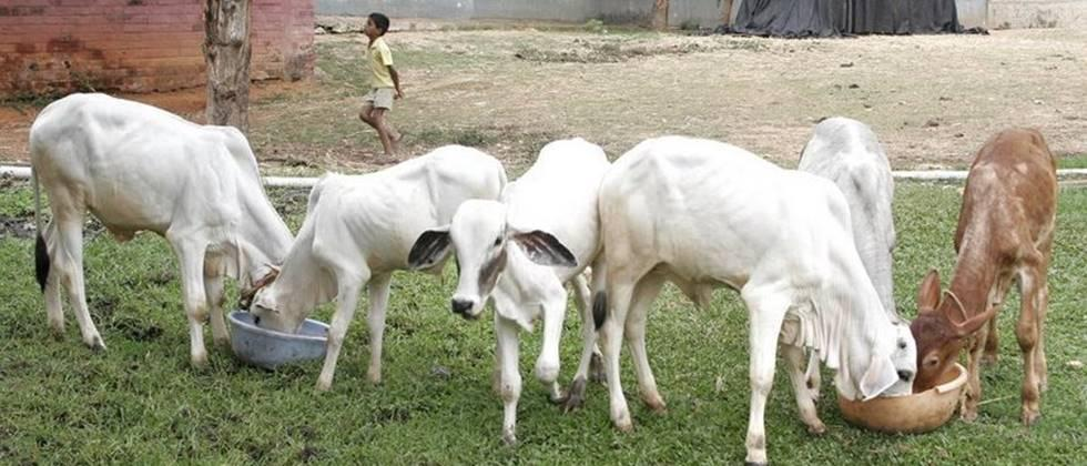 Calves should be given the recommended dose of deworming.