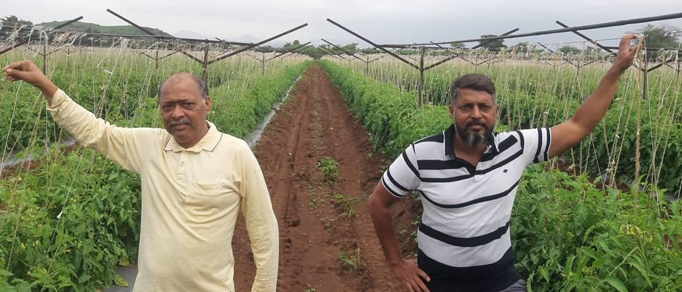 Satish and Nitin Pingale plan the tomato cultivation based on the structure of the vineyard.