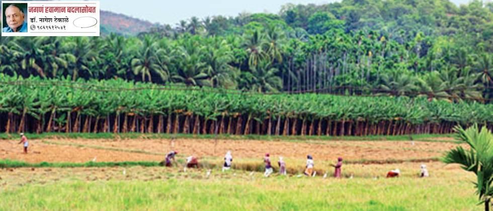 A standing banana crop is seen in place of the paddy crop.
