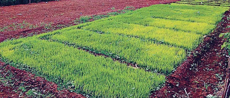 Paddy nursery on 3439 hectares in Pune district