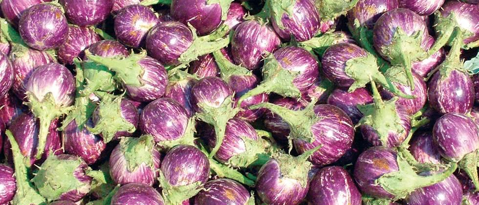 Eggplant in the state is Rs.500 to Rs.4000 per quintal