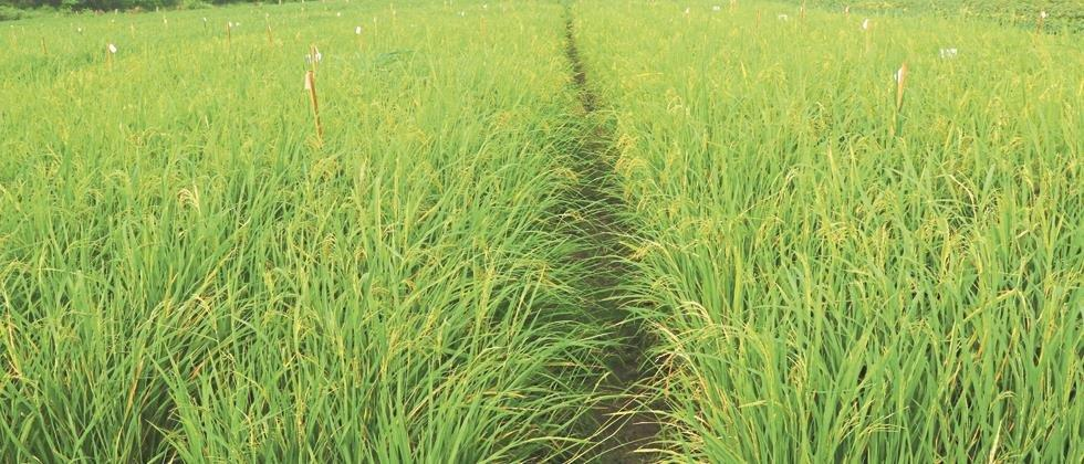 Yes, paddy production is possible even in western Vidarbha