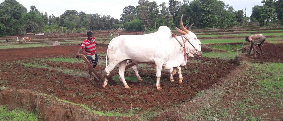 खानदेशात पेरण्या रखडत; कमी पावसामुळे गती मिळेना Delaying sowing in Khandesh; Due to low rainfall, there was no speed