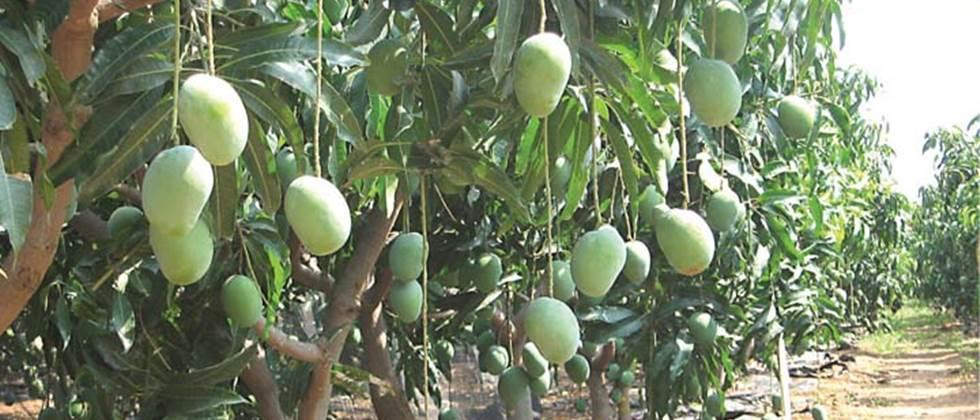 Focus on orchard cultivation on nine thousand hectares in Ratnagiri