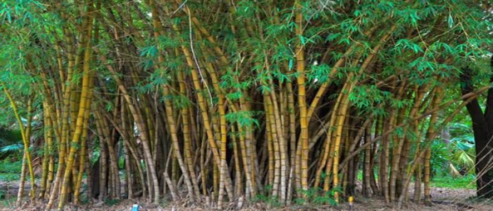 Forest tourism in Narwat, There will be a bamboo training center