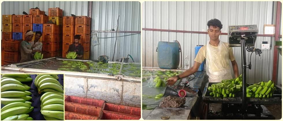 Ongoing process for exporting bananas.