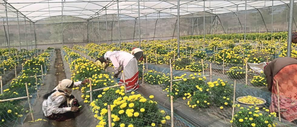 Hybrid Marigold Seed Production in Shednet.