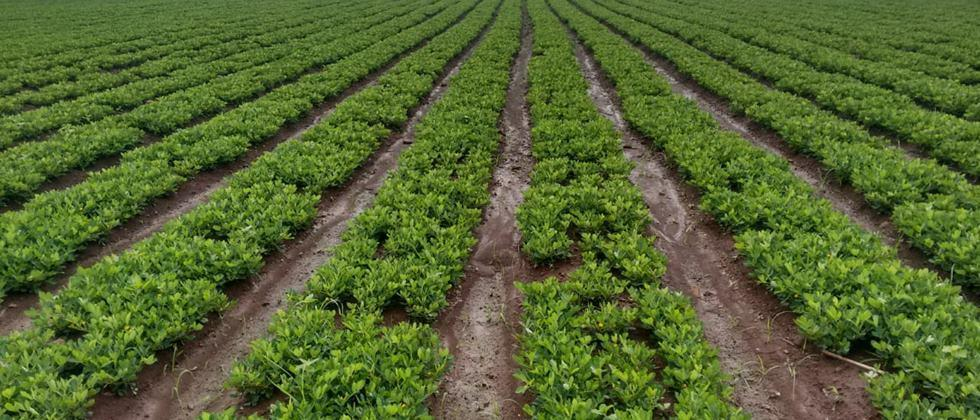 Groundnut cultivation will increase in Khandesh