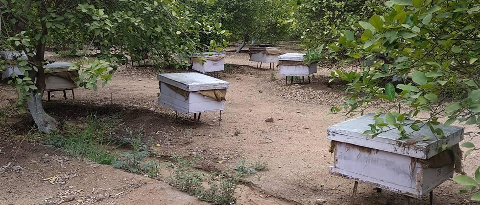 Beekeeping in orchards is beneficial