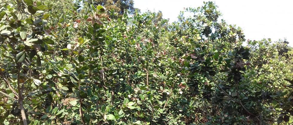 Cashew insurance refund to farmers in only two circles in Sindhudurg
