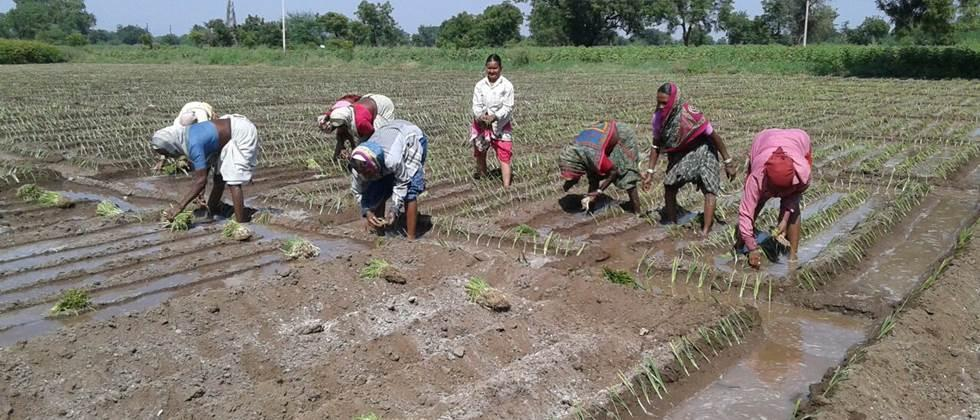 Heavy rains hampered onion cultivation in Khandesh