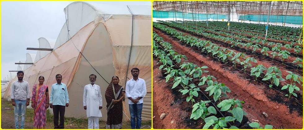 Cultivation of Bell pepper on the bed in polyhouse