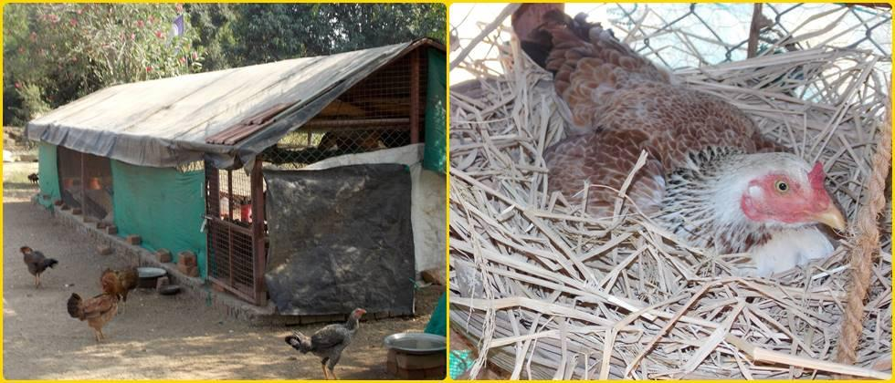 poultry farming of barred breed