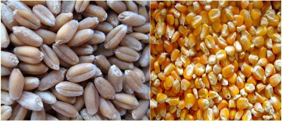 demands to purchase maize and wheat as per Minimum base price