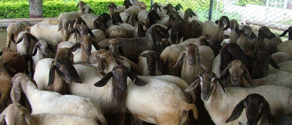 selection of Ethnic male sheep is important