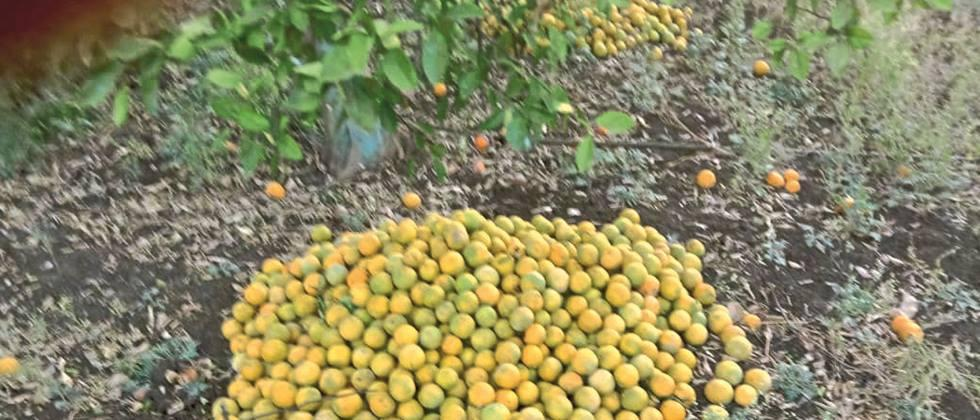 Corona in Jalna hits citrus growers