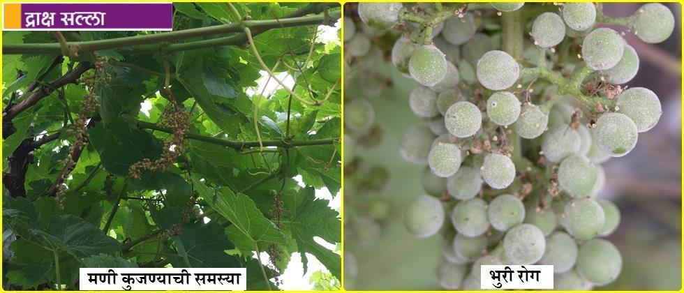 The problem of grape bead rot and powdery mildew symptoms