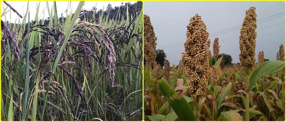Nutritious bio fortified varieties of different crops