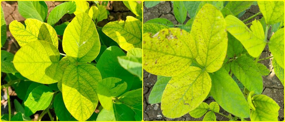yellowing of soybean leaves