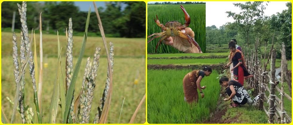 Integrated pest management in paddy crop