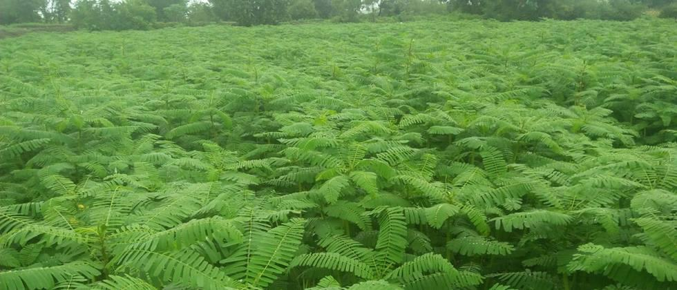 Preference for hemp cultivation in Khandesh