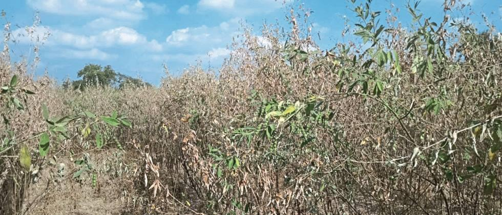 In Hingoli district, tur started falling due to deadly disease